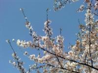 亀戸天神桜.jpg