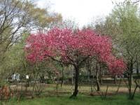 上板八重桜.jpg